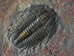 Cambrian Fossil