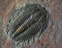 Cambrian Fossil